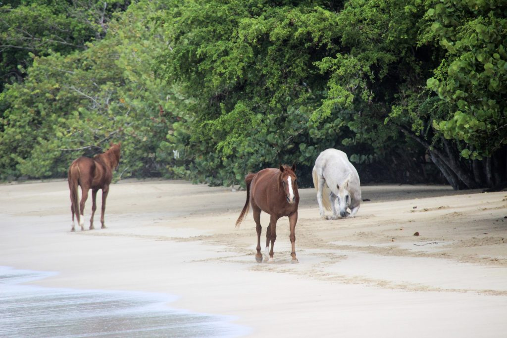 Horses at Buccoo Bay