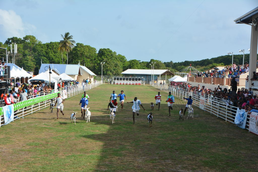 101 Things to do in Tobago - goat racing